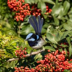 Bird with blue feathers sits in a tree with red berries